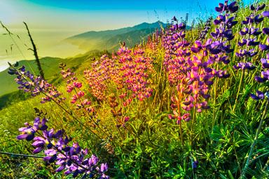 Aums-ridge-Bloom.jpg